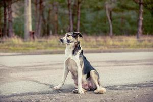 pripyat, Tjernobyl, Ukraina, 22 nov 2020 - hund i Tjernobyl foto