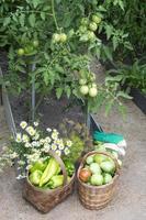 skördar grönsaker i växthuset. tomater och paprika foto