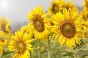 solrosblomma blommar vackert foto