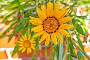 närbild gul gazania blomma i naturen foto