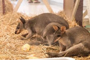 wallaby eller minikänguru foto