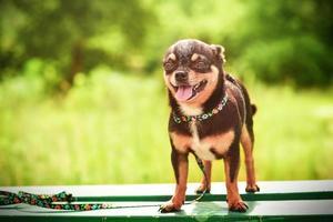 svart hund på en bänk i naturen. släthårig chihuahua hund på en promenad. foto