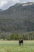 älg i rocky mountain national park foto