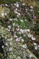 gypsophila repens. vild växt av naturen i Sibirien. foto