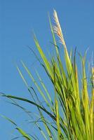 blomma av flöjtvassgräs i vind och blå himmel foto