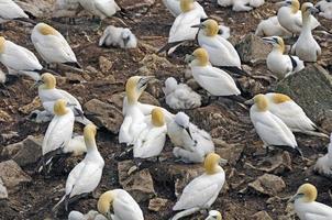 häckande koloni av norra gannets foto