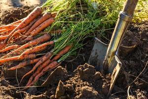 färskt skördade morötter på marken i trädgården foto
