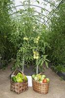 tomater i korgar foto