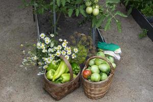 tomater i korgar är i växthuset foto