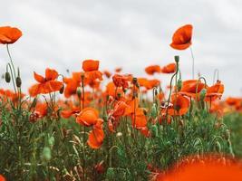 fält av röda vallmo. blommor röda vallmo blommar på vilda fält foto