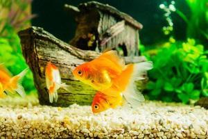 guldfisk i akvarium med gröna växter foto