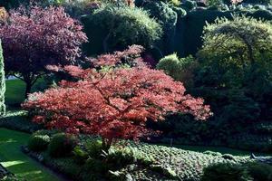japansk lönn på hösten foto