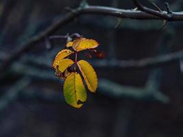 höst rödgula löv på en trädgren foto