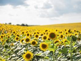 vackra solrosor i fältet, naturlig bakgrund foto