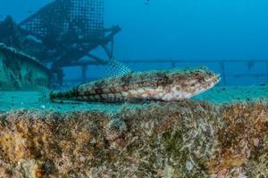fiskar simmar i Röda havet, färgglada fiskar, Eilat Israel foto