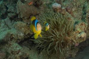 korallrev och vattenväxter i Röda havet, eilat israel foto