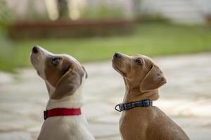 två unga jack russell terrier utomhus tittar upp. foto