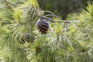 närbild av tallkottar på grenen. foto
