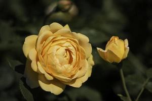 närbild av gul hybrid te ros foto
