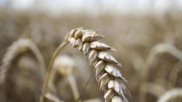 närbild av stjälkar av gyllene vete, spannmålspik. foto