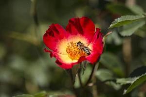 honungsbin samlar blommanektar foto