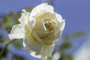 närbild av en enda vit ros foto