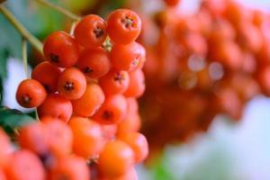 närbild av grenar med mogna röda rönnbär i oktober utomhus foto