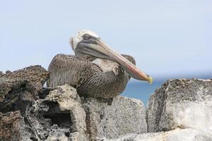 brun pelikan som ligger uppe på en sten som visar sitt inre ögonlock foto