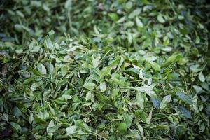 te, teblad, grönt ekologiskt te foto