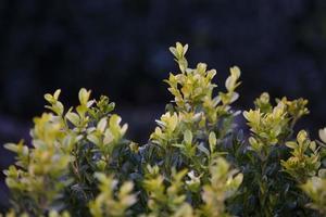 gröna blad vägghäck som bakgrund foto