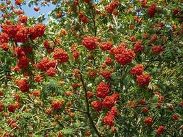 rikliga röda bär på ett rönnträd foto
