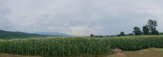 panorama majsfält vacker naturlig utsikt regntiden foto