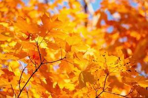 gula blad och grenar på hösten foto