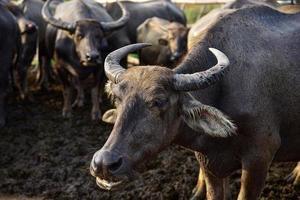 en närbild av vattenbuffel foto