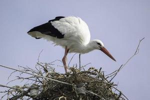 stork i ett bo ovanpå en pelare foto