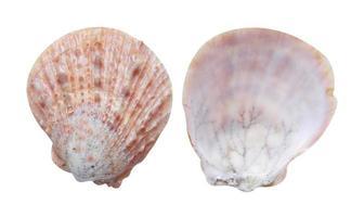 blötdjur havsskal på vit bakgrund foto