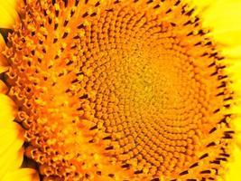 solros mycket makrodetaljer, blommor och frön foto