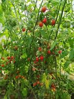mogna röda körsbärstomater på busken foto