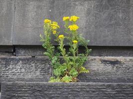 blomma född ur stenen foto