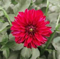 vacker röd blomma i trädgården dahlia foto