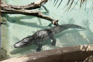 krokodil som ligger i vattenpool i zoo, vilda tropiska djur foto