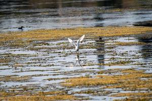 egret fågel i sjön söker byte foto