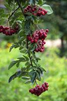 rönnfrukter på en buske foto