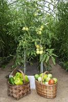 skördar grönsaker i växthuset foto