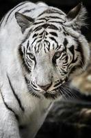 vit tiger indonesien arter av sumateran tiger foto