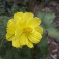 gul blommasäsong i trädgården. vacker gul blomma foto