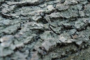 grå tall trädstam textur, grå texturerad bark närbild foto