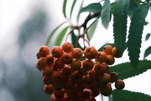 närbild av en gren med mogna röda rönnbär i oktober utomhus foto