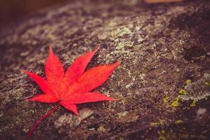 rött lönnlöv på stenbakgrund foto
