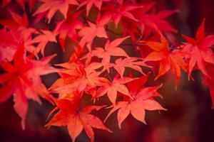 vackra röda lönnlöv på hösten foto